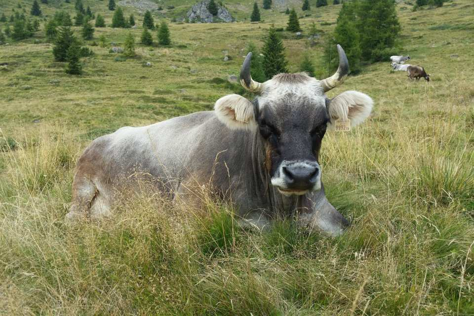 Cattle in the Valsugana Valley © Adopt a Cow